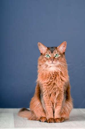 somali: Purebreed Somali cat on the floor Stock Photo