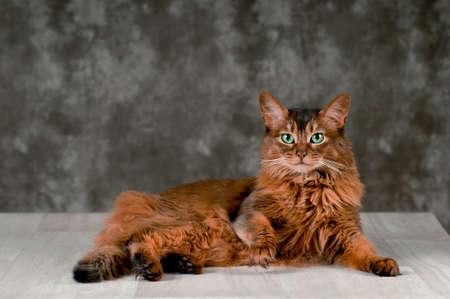 somali: Purebreed Somali cat ruddy color portrait at studio