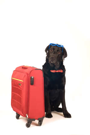 Black labrador retreiver portrait with red suitcase