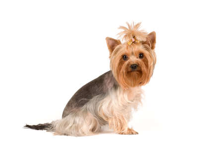 lap dog: yorkshire terrier portrait in studio isolated on white