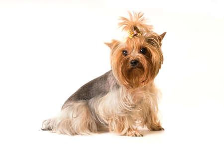 fullbody: yorkshire terrier portrait in studio isolated on white