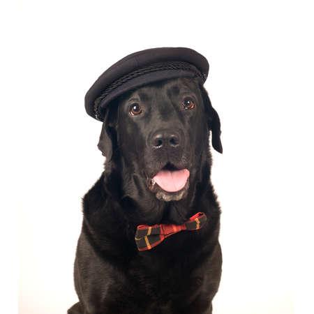 retreiver: Black labrador retreiver portrait in sludio looking at camera