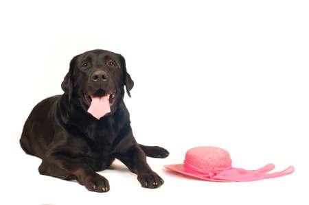 retreiver: Black labrador retreiver portrait with pink hat  isolated on white Stock Photo