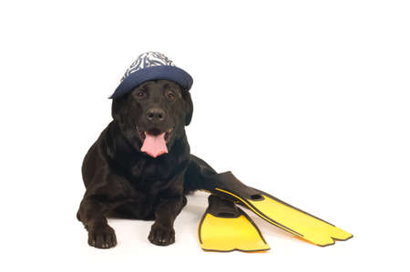 flippers: Black labrador retreiver portrait with flippers isolated on white