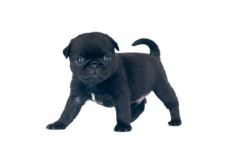 black pug: Little one month pug puppy at studio isolated on white Stock Photo