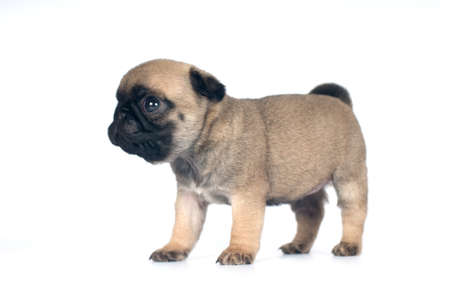 fullbody: One month pug puppy beige color isolated on white