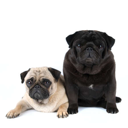 lap dog: Two purebred pugs portrait isolated on white Stock Photo