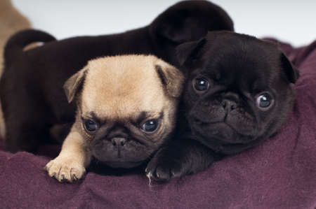 black pug: Two cute purebred pugs puppies lying on mat