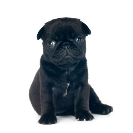 One month pug puppy black color isolated on white