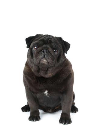 black pug: Black pug isolated on white looking at camera portrait