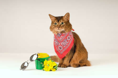 somali: Somali cat on white background in red bandanna with sunglasses Stock Photo