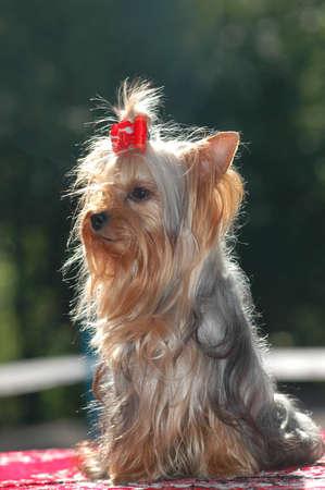 purebred: Purebred yorkshire terrier portrait