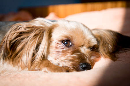 sunbath: Yorkshire terrier with hairstyle taking sunbath on a coach