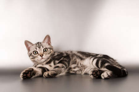 shorthaired: American shorthaired kittens on silver background looking at camera Stock Photo