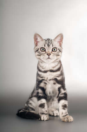 shorthaired: American shorthaired kittens on silver background portrait Stock Photo