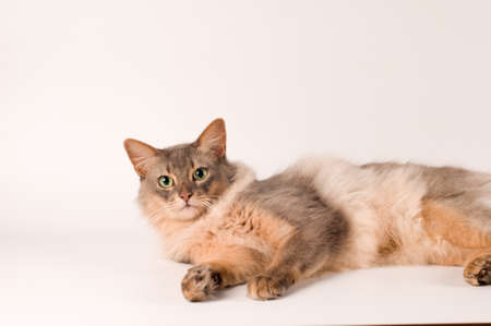 somali: Somali cat blue color on white background lying portrait Stock Photo