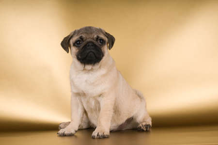 lap dog: Pug puppy on golden background at studio