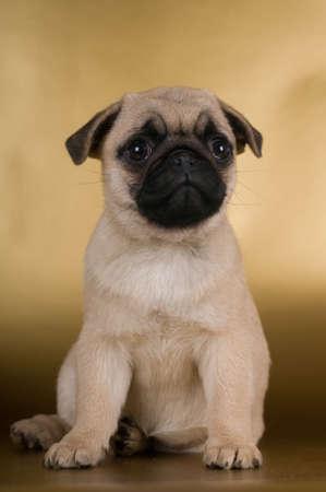 pug puppy: Pug puppy on golden background at studio
