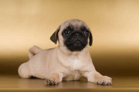 Pug lying on golden background at studio