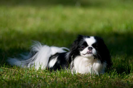 groomed: Japanese Chin portrait outdoor lying on green grass