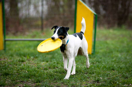 Fox terrier with frisbee in his mouth Stock Photo