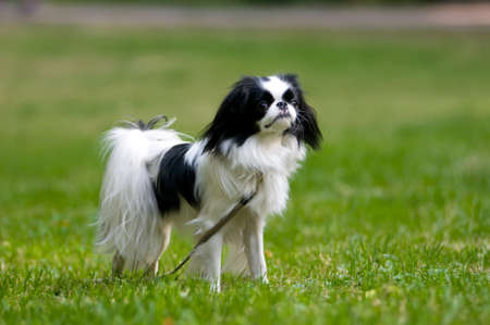 Japanese Chin portrait outdoor standing on lawn Stock Photo