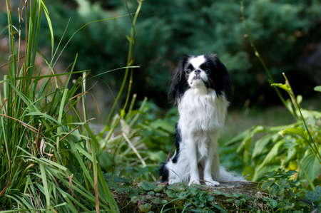 lap dog: Japanese Chin portrait outdoor siting on stone Stock Photo