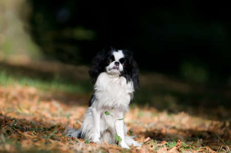 lap dog: Japanese Chin portrait outdoor with red leaves