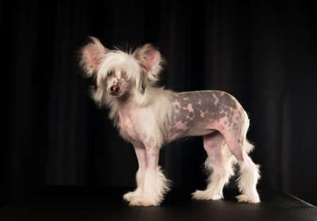 lap dog: Chinese crested dog portrait in studio on black background