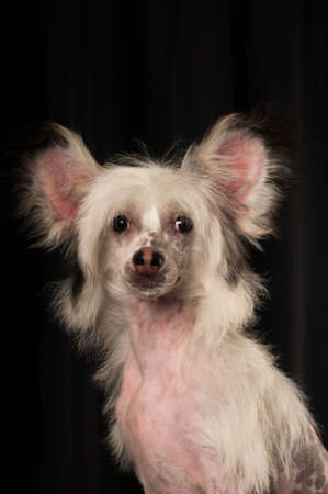 Chinese crested dog portrait in studio on black background