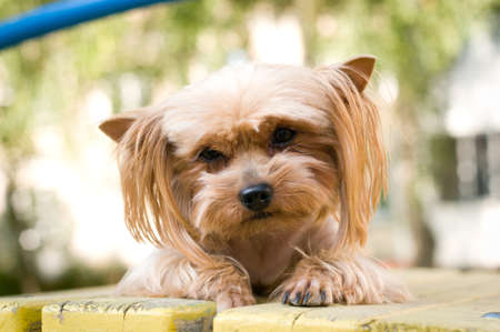 lap dog: Purebred yorkshire terrier outdoor portrait on playground