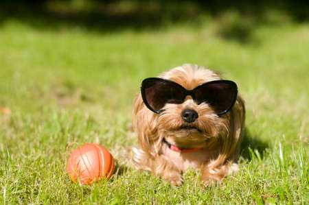 lap of luxury: Purebred yorkshire terrier outdoor portrait with red toy ball with sunglasses