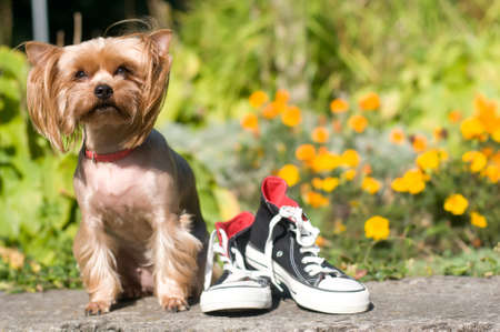Purebred yorkshire terrier outdoor portrait sitting with shoes