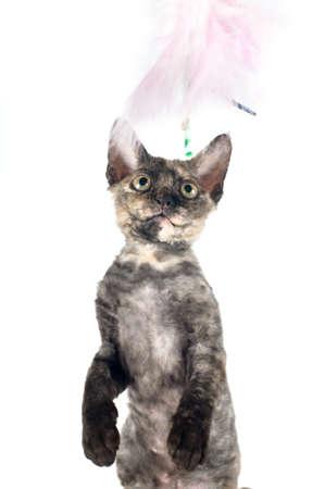 rex: Devon rex purebrebred cat on white background