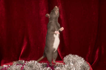 Rat on red velvet background stands on back legs and looks up Stock Photo
