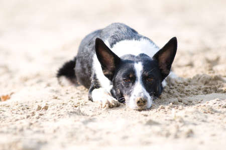 head down: Mixed breed dog portrait on the beach with head down