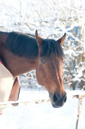 Horse portrait bay color in winter outdoor snow weather