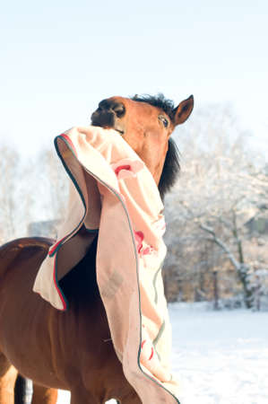 Horse bay color portrait outdoor trying to take off fleece blanket Stock Photo