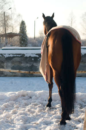 Horse bay color portrait outdoor trying to take off fleece blanket, rear view. Stock Photo