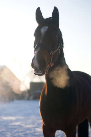 exhale: Horse portrait in winter looking at camera with interest