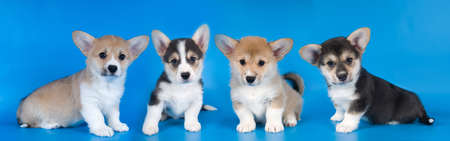 Four adorable Pembroke Welsh Corgi puppies sits on blue background and looking at camera
