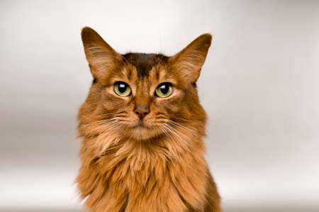 Cute somali cat studio snapshot asking with paw and looking at camera Stock Photo