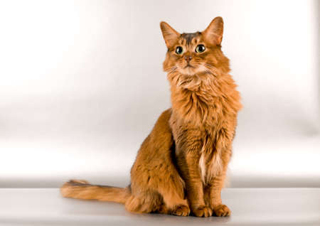 Cute somali cat studio looking for something portrait on silver background Stock Photo