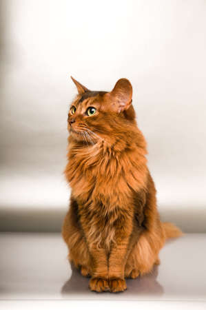 Elegant somali cat studio snapshot portrait looking aside sitting on silver background