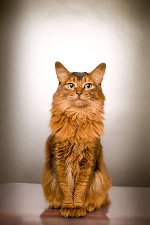 Elegant somali cat studio snapshot portrait looking at camera sitting on silver background