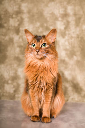 Elegant somali cat studio snapshot portrait looking at camera
