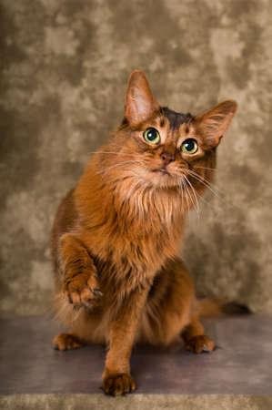 Cute somali cat studio snapshot asking with paw and looking at camera greeting