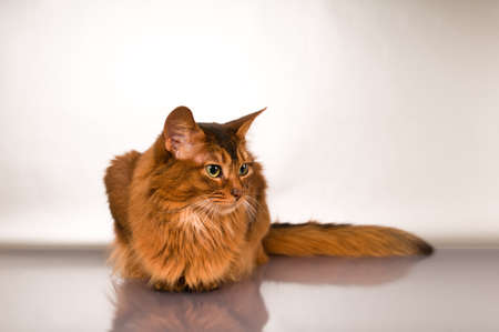 Cute somali cat studio snapshot profile portrait