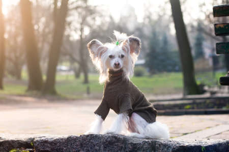 Pretty chinese crested dog portrait in beautiful sunset park