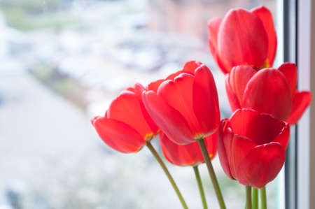 Seven red tulips on window sill sunny spring day